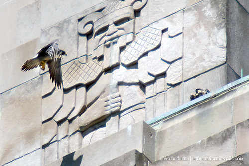 peregrine falcon adult and fledgling in providence by providence raptorse