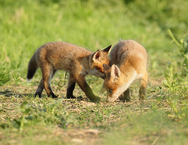 Two Fox cubs whispering  plans rural Suffolk Vulpes vulpes