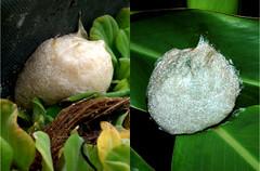 卵泡一般是黃褐色,但在八里有發現藍灰的。 (圖片來源:楊懿如的青蛙學堂)