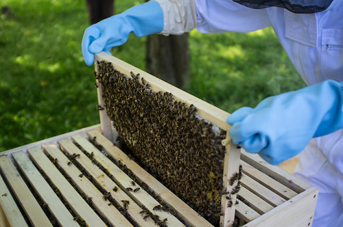 Kontrolle im Bienenstock