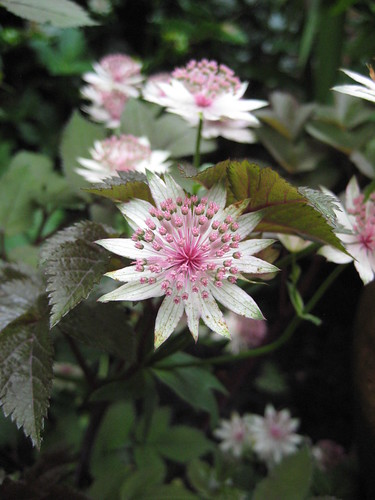 Astrantia with Angelica