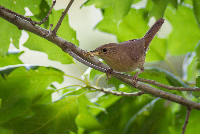House Wren, Spider, Perched, Trees Leaves