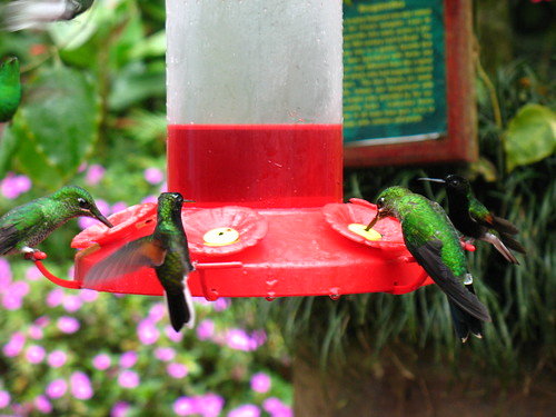 very fast hummingbirds (sorry about the bad quality, it was dark and rainy)