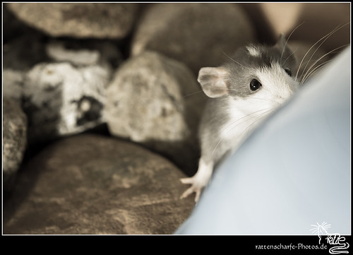 2013-07-21_Ratten-004 | by rattenscharfe-photos.de