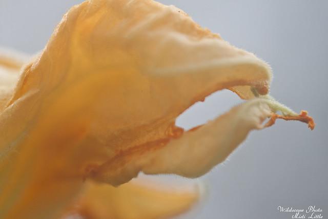 squashflower