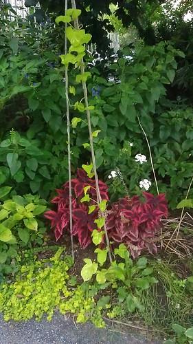 Ipomoea nil Asagao Garden by Gerris2