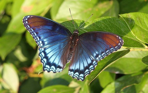 blue red orange butterfly northcarolina mimic richmondcounty limenitisarthemis redspottedpurple limenitisarthemisastyanax thecolorred thinfilminterference frequencywaves pipevineswallowtailmimic