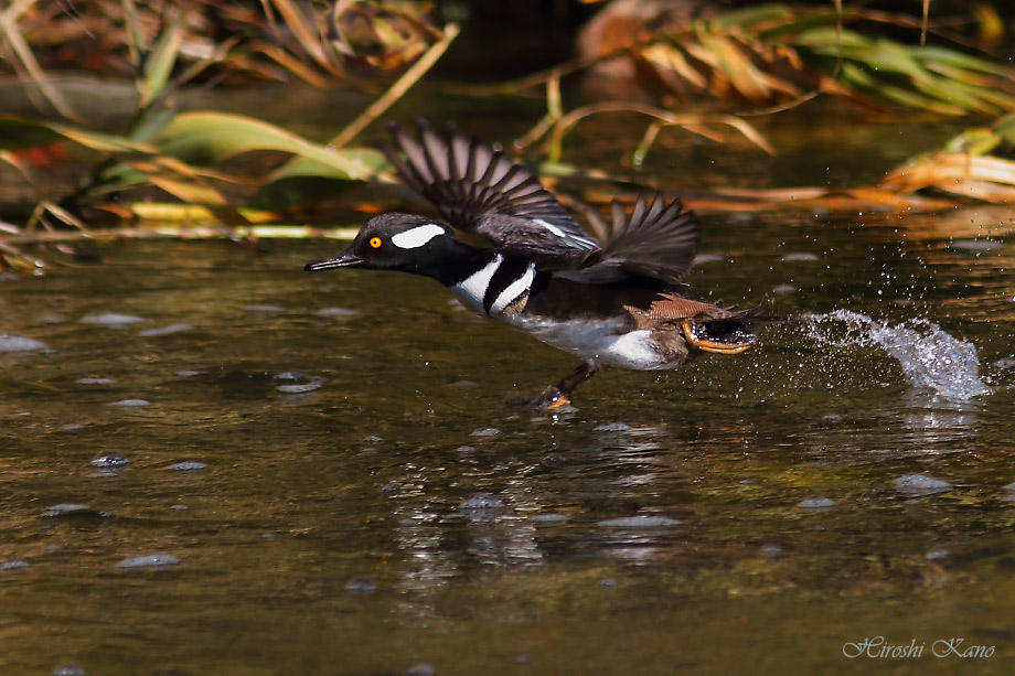 Hooded Merganser 052813-07