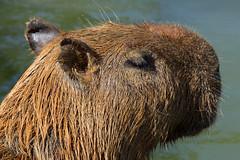 animal, mammal, fauna, close-up, capybara, whiskers, wildlife,