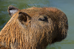 snout(0.0), grizzly bear(0.0), brown bear(0.0), bear(0.0), beaver(0.0), animal(1.0), mammal(1.0), fauna(1.0), close-up(1.0), capybara(1.0), whiskers(1.0), wildlife(1.0),