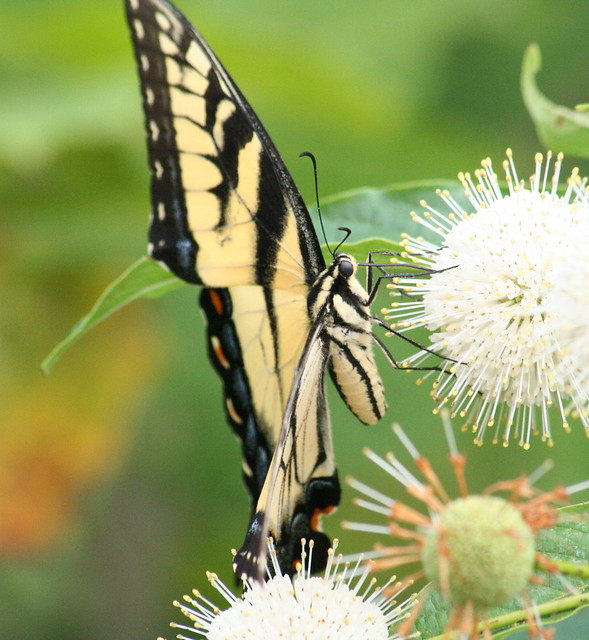 Tiger Swallowtail (3)