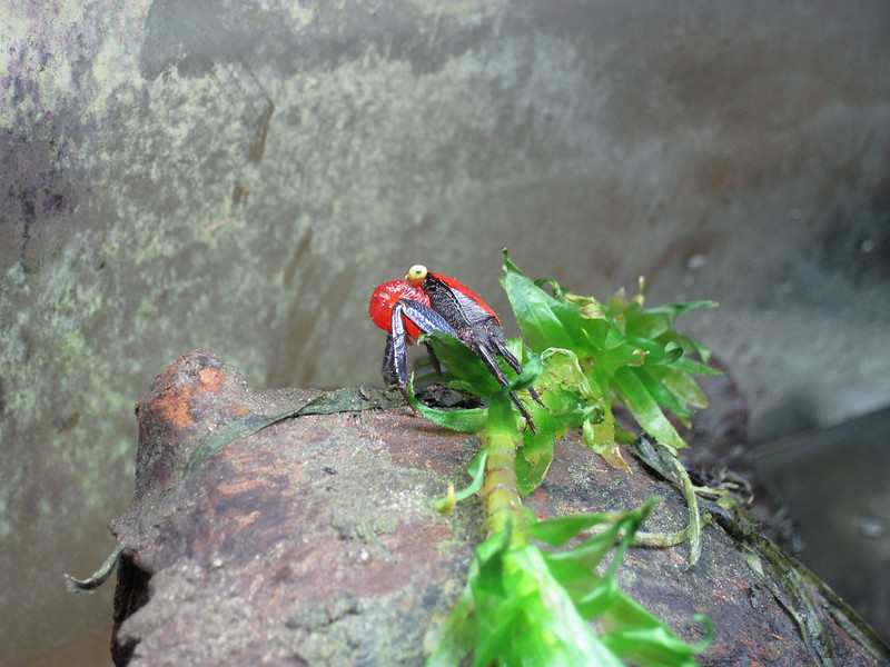 Red Devil Crab