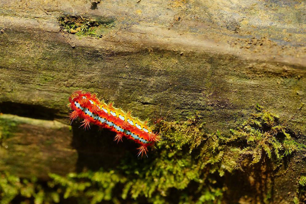 八字褐刺蛾-1