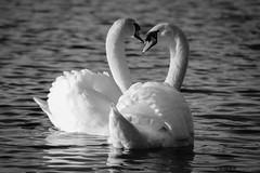 Mute Swans, Atlantic Wharf, Cardiff Bay