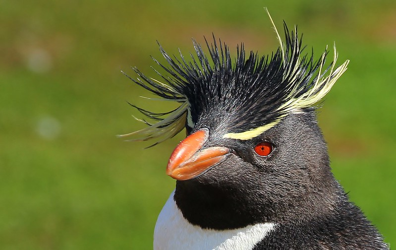 Southern Rockhopper Penguins - Saunders Is (36)