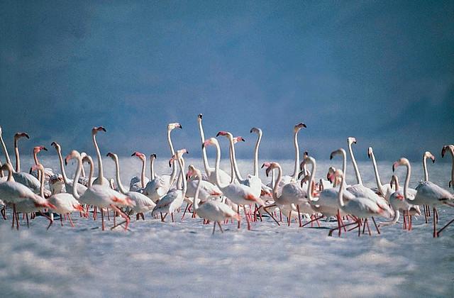Colonia de Flamencos Rosas que habita el lago salado, deben su color de las plumas a las algas rojas que comen por la zona. Tuz Gölü, el lago salado de Turquía - 10515911026 79b44fc73f z - Tuz Gölü, el lago salado de Turquía