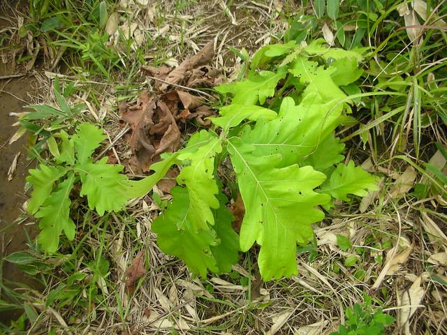 カシワの葉を見て,カシワモチのお話.芸北ではカシワモチにはサルトリイバラの葉が使用され「まき」と呼ばれお盆に食べる風習がある.