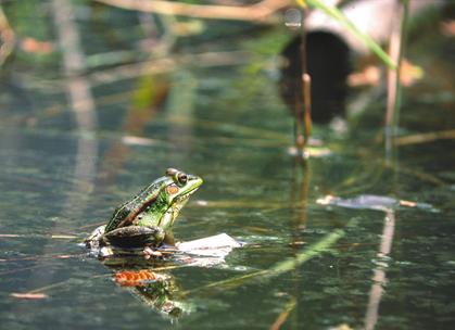 「聲物狂想曲」系列講座第二場主題從台灣豐富的蛙鳴談到蛙生態。圖為金線蛙。攝影:李育維