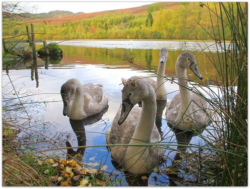 Cygnets at Loch Milldam