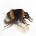 Bombus terrestris ssp. dalmatinus (Tomato-house Bumblebee)