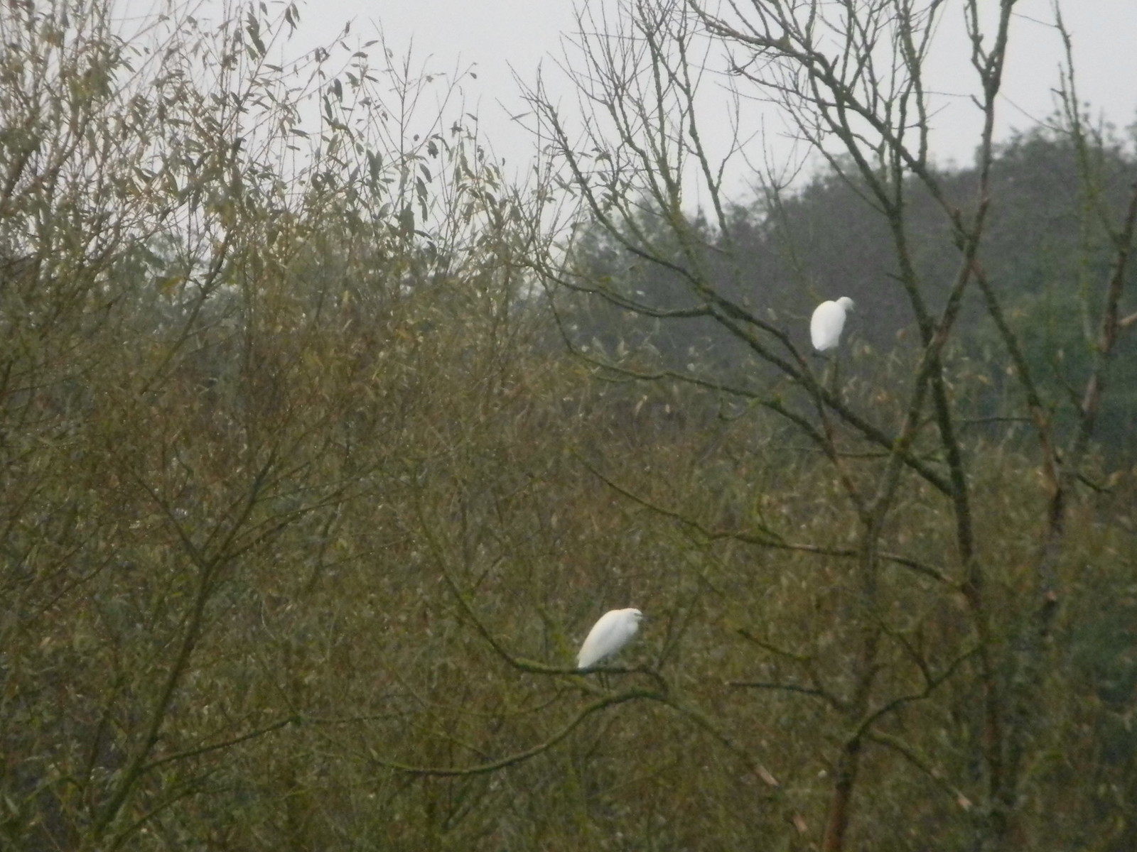 Little Egrets Chorleywood to Chesham