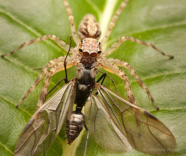 Helpis sp with prey