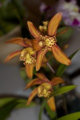 Cymbidium Chens Ruby – Alex Nadzan