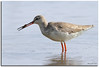 鶴鷸 Spotted Redshank by Kennix Lam