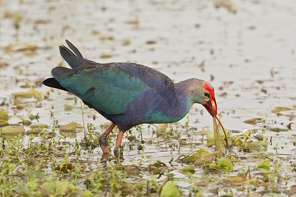 Purple Gallinule Sri Lanka 2013-11-29
