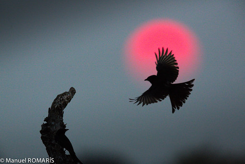 sunset sun fly flying wing namibia etosha drongo flickr12days