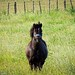 Shetland Pony by possumgirl2