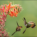 Scintillant Hummingbird (Selasphorus scintilla) feeding from flowers by Chris Jimenez Nature Photo