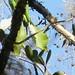 Cotorra Puertorriqueña (Amazona vittata) by SwiftWind16