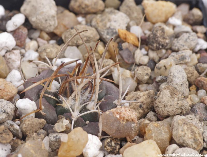 Turbinicarpus schmiedickeanus ssp. bonatzii