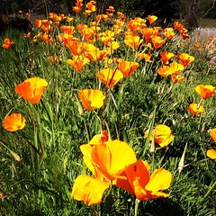 annual plant, eschscholzia californica, flower, field, garden, yellow, nature, wildflower, flora, meadow, petal, poppy,