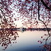 cherry blossom sunrise by ekelly80