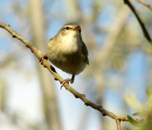 Willow Warbler 26969