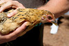 Chicken from CJ Acres Animal Rescue Farm by sciencensorcery