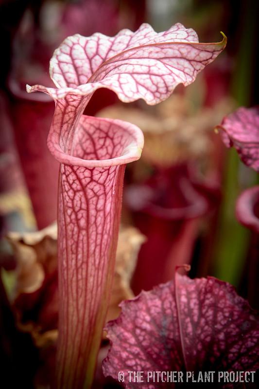 Sarracenia 'Reptilian Rose' x (flava var.rubricorpora x leucophylla) - Clone 4