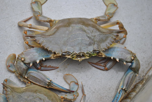 How To Get A Commercial Crabbing License In Virginia