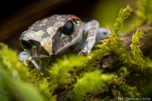 Black-eyed litter frog (Leptobrachium sp.)