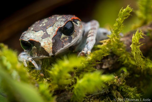 Black-eyed litter frog (Leptobrachium sp.)