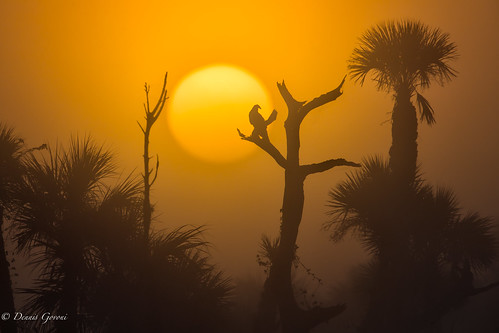 bird florida fog landscape orlandowetlands palmtrees sunrise sunrise5 vulture wildlife