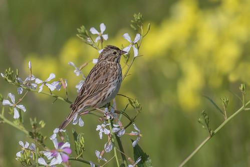 Spring is here, Savannah Sparrow