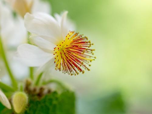Blüte der Zimmerlinde (Sparrmannia)