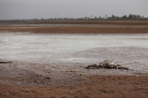 A bird carcass amongst saline-heavy land (Senegal).