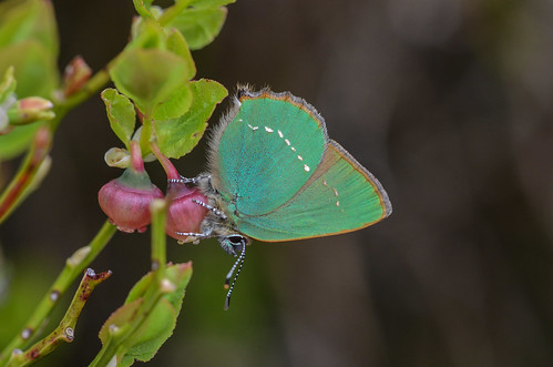 Green Hairstreak butterfly, Hade Edge, South Yorkshire.