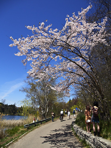 Sakura over the Path