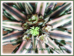 Cryptanthus bivittatus var. bivittatus (Earth Star, Starfish Plant) with flower buds and pups