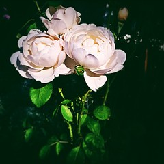 Day 5: environment #fmsphotoaday #photoaday #photochallenge #nature #roses #beautiful